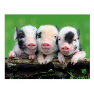 Three little pigs - cute pig - three pigs postcard