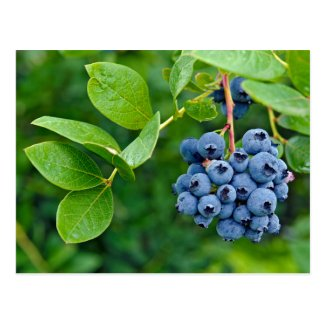 Blueberry Crop Postcard