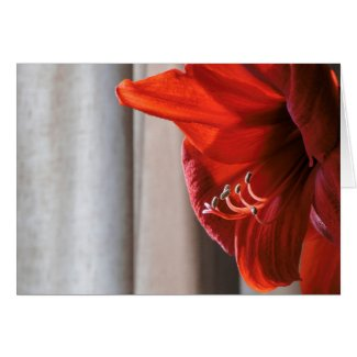 Red Lion Amaryllis Flower New Year's Card