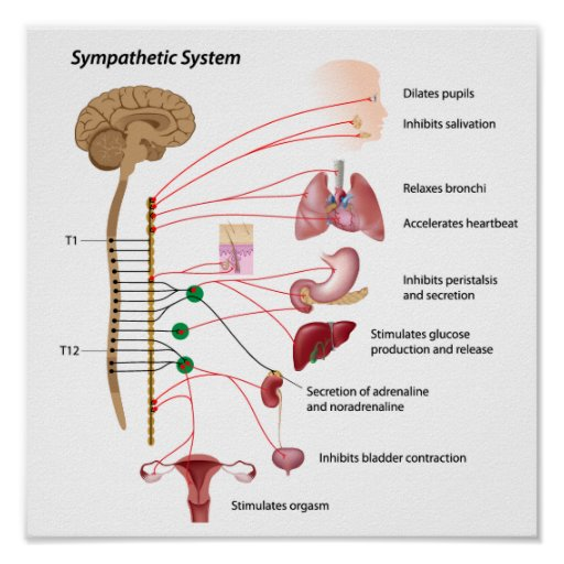 Pin Of-the-sympathetic-and-parasympathetic-systems-on ...