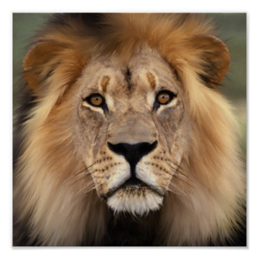 Lion Posters, Lion Prints, Art Prints, & Poster Designs