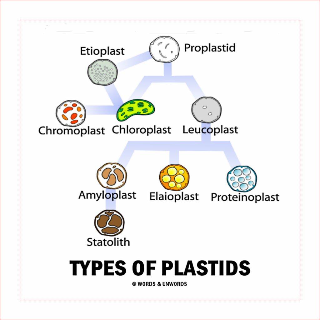 Diagram of plastids - Science - The Fundamental Unit of ...