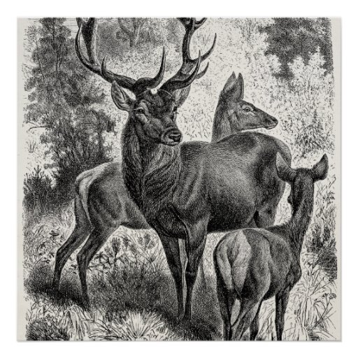 Vintage 1800s Red Deer Illustration Stag Doe Fawn Poster ...
