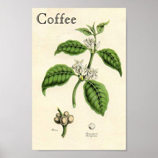 Vintage Coffee Plant Poster