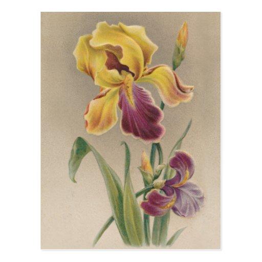 Vintage Iris 83