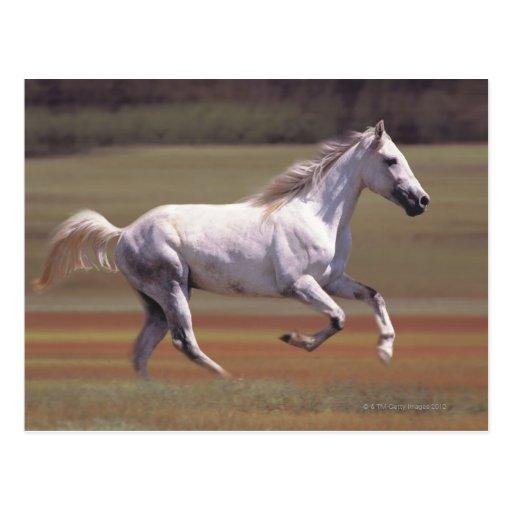 White horse run...