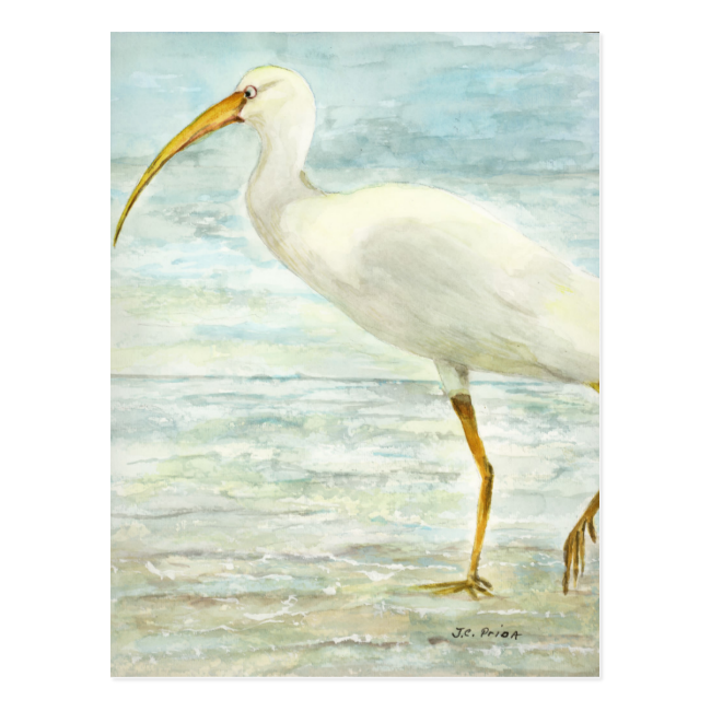 White Ibis Bird on Shore Postcard