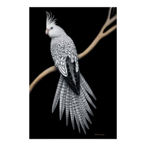 BABY WHITE FACED GREY MALE COCKATIEL (SOLD) | Pontypool ... |White Faced Cockatiel