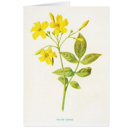 Yellow Jasmine Vintage Botanical Illustration Card   Zazzle